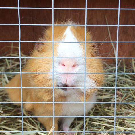 Bathroom Ideas Green by Homemade Guinea Pig Cages