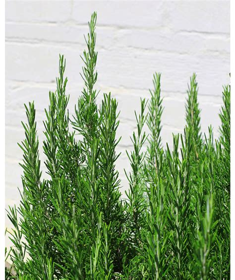 rosemary 8 plants that repel bugs real simple