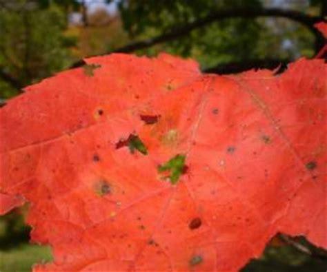 wallpaper daun orange daun maple merah dan hijau wallpaper latar belakang dari