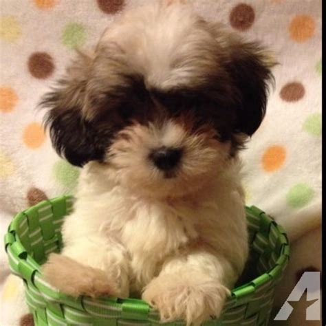 shih tzu puppies for sale in raleigh nc maltese shih tzu puppies for sale in raleigh carolina classified
