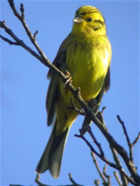 pictures of birds in alabama alabama state bird yellowhammer pictures state birds