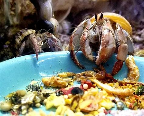 whats  dinner  hermit crab food guide  crab