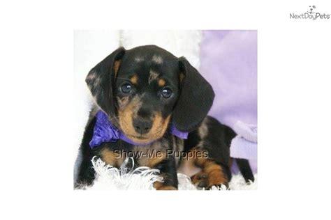 dogs 10 pounds meet cheyenne a dachshund mini puppy for sale for 400 cheyenne beautiful mini