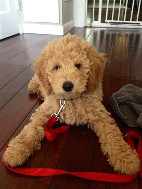 goldendoodle puppy toys best 25 goldendoodle ideas on teddy