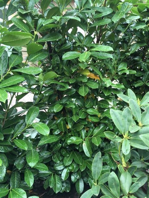 kirschlorbeer pflanzen wann kirschlorbeer bekommt gelbe bl 228 tter m 252 ssen wir was
