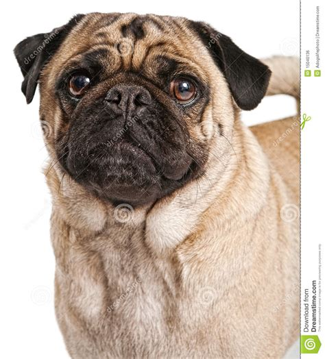pug royalty pug royalty free stock photography image 26770297 breeds picture