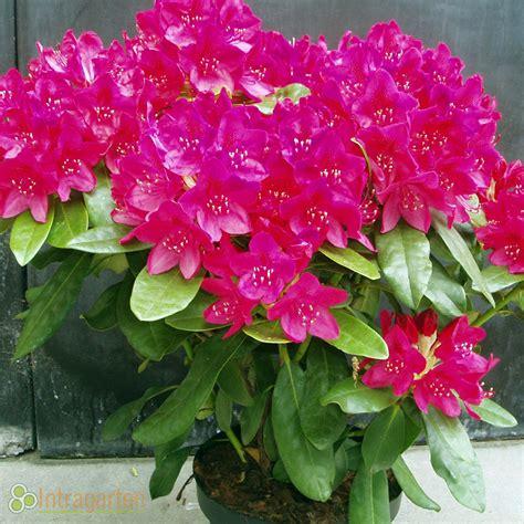 Rhododendron Im Kübel 4654 by Strauch Mit Rosa Bl 252 Ten Weigelie 39 Styriaca 39 Weigela