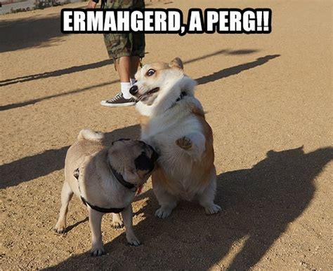 corgi pugs corgi spots a pug