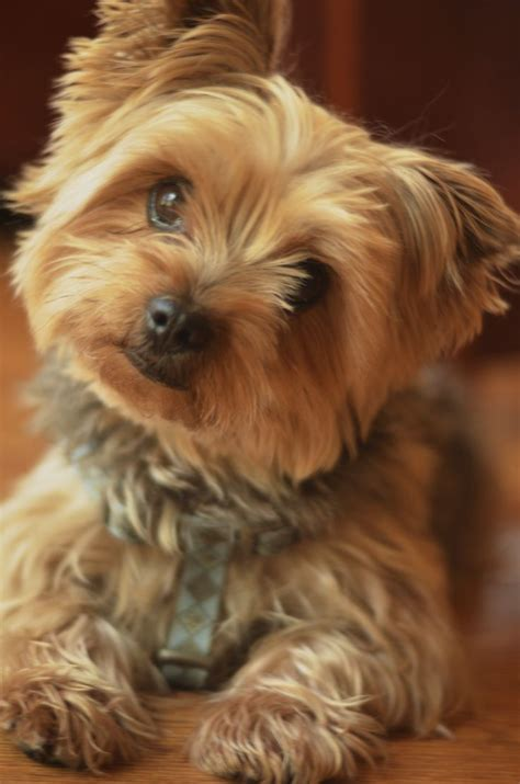 how is my yorkie that s the yorkie tilt terrier puppy dogs yorkie