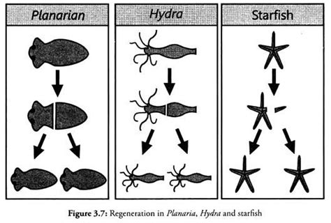 regeneration and pattern formation in planarians iii modes of reproduction in organisms term paper zoology
