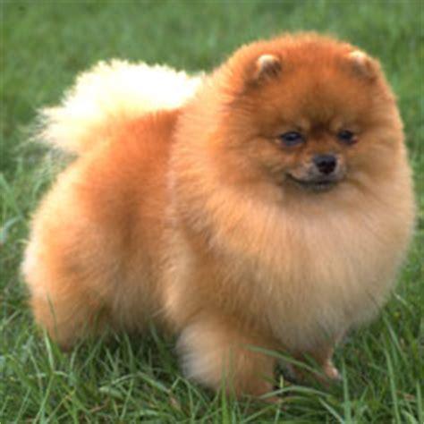 pomeranian breeds list breeds complete breed list american kennel club