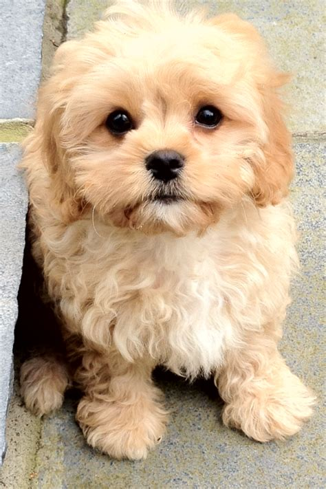 cavapoo puppies breeders cavapoo puppies for sale lancashire pets4homes