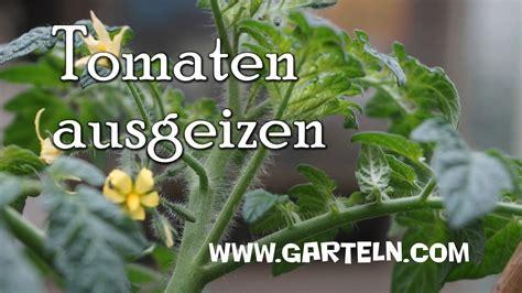 tomaten ausgeizen ab wann tomaten ausgeizen tipps und infos