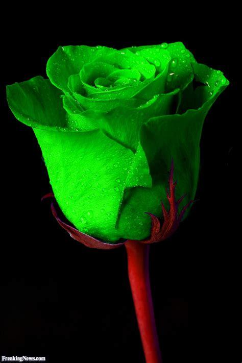 green irish rose pictures