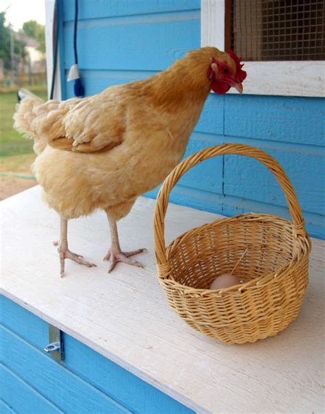 Backyard Chickens Arizona Raising Chickens In Arizona Winwinfarm