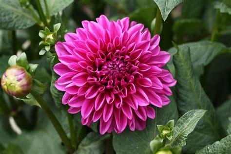 dalia in vaso come curare e coltivare le dalie in vaso o in giardino