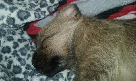 cairn terrier puppies ohio cairn terrier puppy for sale in cleveland ohio