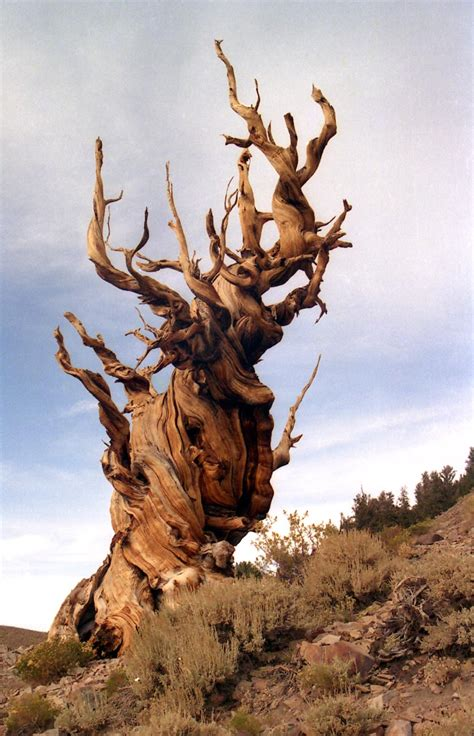 Methuselah, the oldest living non colonal organism in the