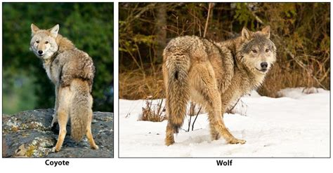 difference between wolves and dogs distinguishing between coyotes wolves and dogs