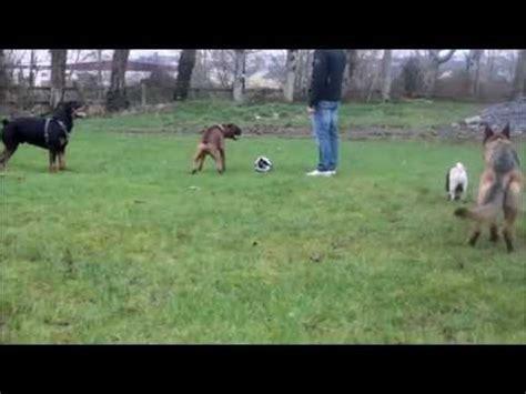 pug vs german shepherd boxer vs rottweiler gsd