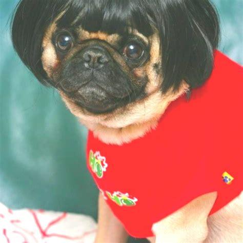pug with wig pug in a wig bahaha
