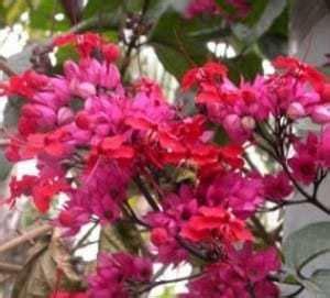 5 Bibit Sirih Merah jual bibit unggul tanaman sirih merah bibit