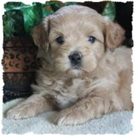 poovanese puppies for sale mixed breed puppies puppy for sale non shed breeders iowa