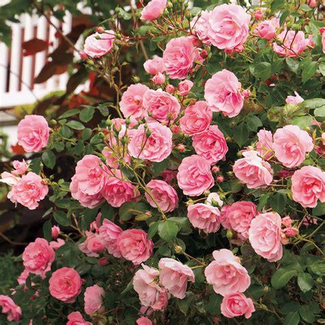 the fairy shrub rose at jackson perkins