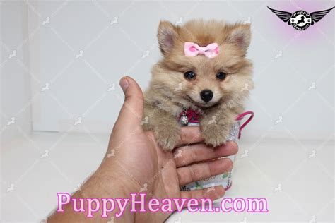 pomeranian los angeles qt teacup pomeranian puppy in los angeles found a new loving home with nirmiti from