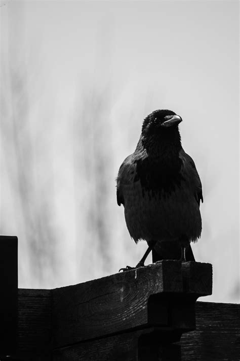 Free Images : silhouette, black and white, animal, dark
