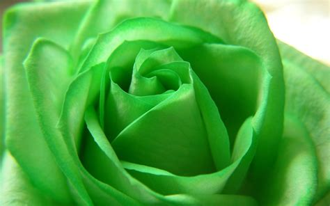 Green Rose HD Wallpapers ? Pictures of Beautiful Flowers