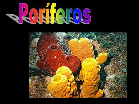 imagenes de animales poriferos por 237 feros ppt descargar
