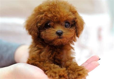 toys toy poodles for sale and toy poodles on pinterest