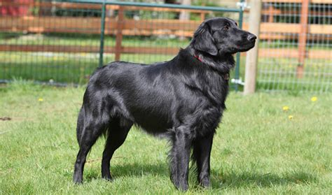 complete flat coated retriever the flat coated retriever breed information