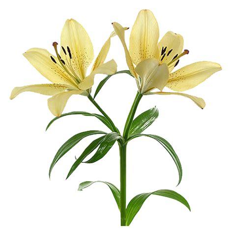 imagenes de flores lirios dibujos de lirios para colorear e imprimir