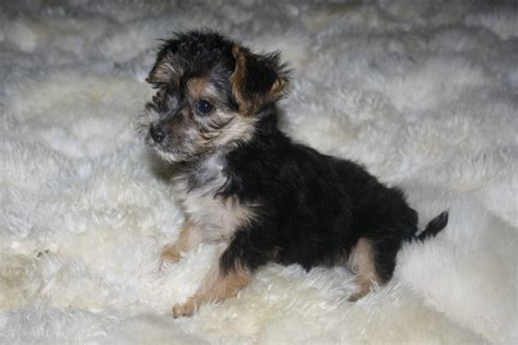 yorkie maltese puppy puppy dogs maltese yorkie puppies
