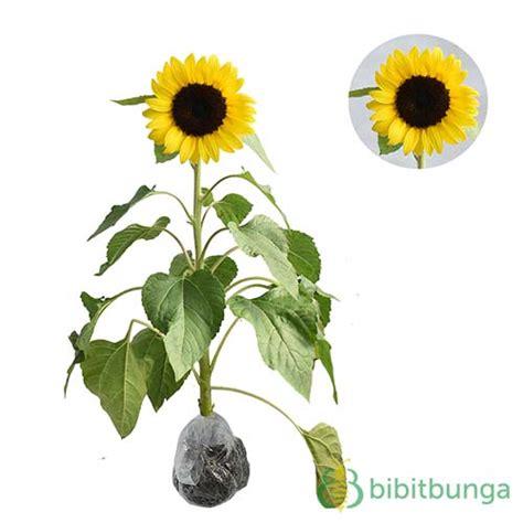 Tanaman Bunga Dahlia Ungu Tinggi 30 50 Cm tanaman bunga matahari impor bibitbunga