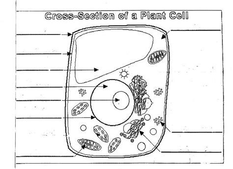 unlabeled cell diagram using the microscope to compare plant animal cells