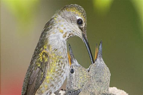 the gift of caring for baby hummingbirds audubon