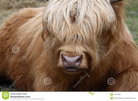 ox horns hair beautiful golden oxen with long hair covering eyes stock