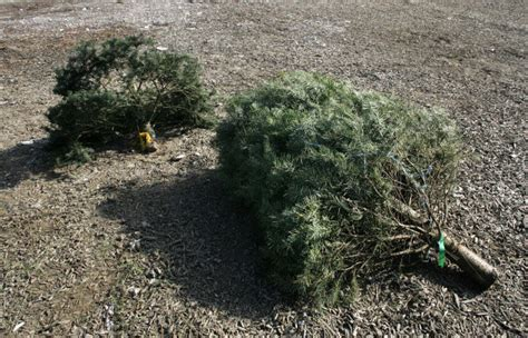 guidelines set for christmas tree recycling orange