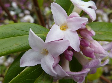 image for flowers file daphne bholua jacqueline postill thymelaeaceae