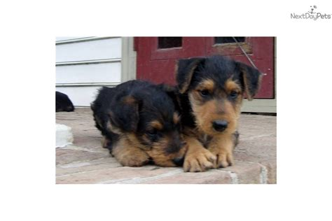 airedale puppies for sale california airedale terrier puppies for sale in california images