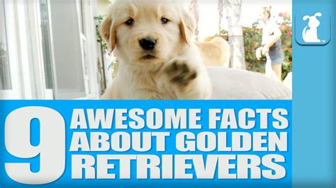 facts about a golden retriever top 9 awesome facts about golden retrievers that you probably didn t