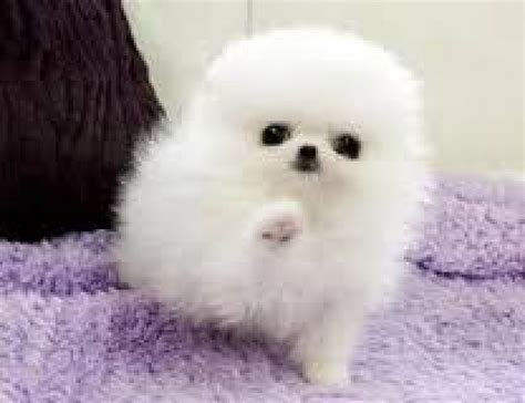 4 cute pomeranian puppies for sale adoption text