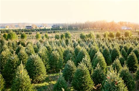 misty run tree farm lebanon s largest choose cut