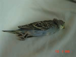 Country House Plans Online Dead Budgie 1 Photo By Geckosinthehouse Photobucket