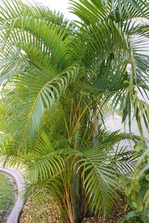 areca palm areca palm florida pinterest
