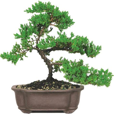 bonsai tree image gallery juniper bonsai