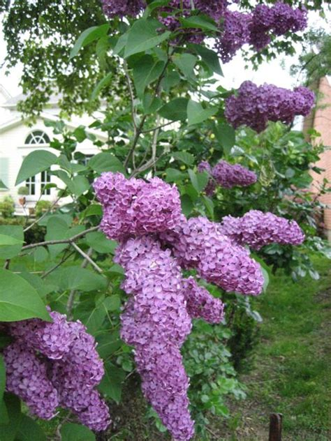 when to prune flowering shrubs when to prune flowering shrubs garden